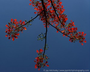 red leaves of malinche tree backlit against blue sky