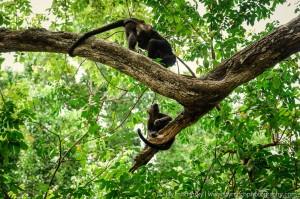howler monkeys in trees